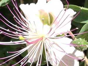 Galieel flowers